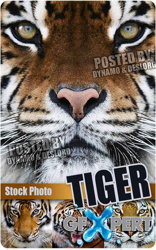 Tiger - UHQ Stock Photo