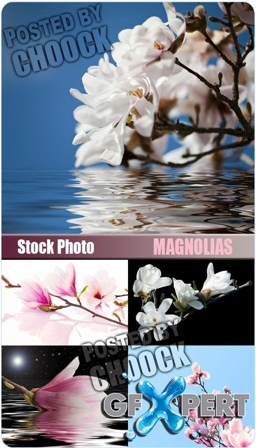 Magnolias - Stock Photo