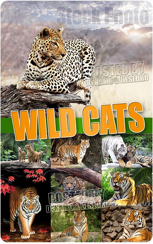 Wild Cats - UHQ Stock Photo