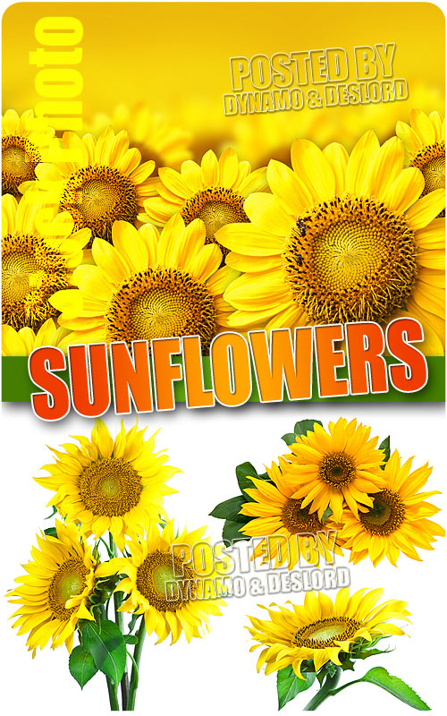 Sunflowers - UHQ Stock Photo