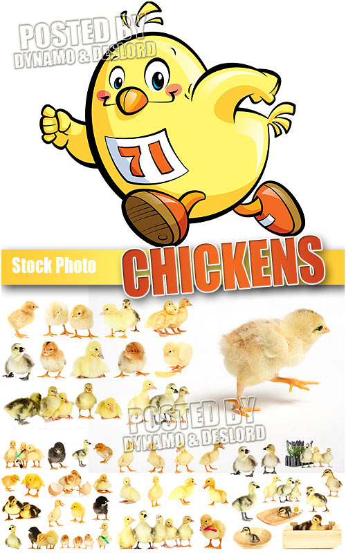 Chickens - UHQ Stock Photo