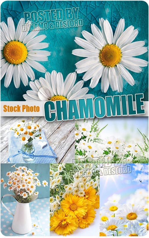 Chamomile - UHQ Stock Photo