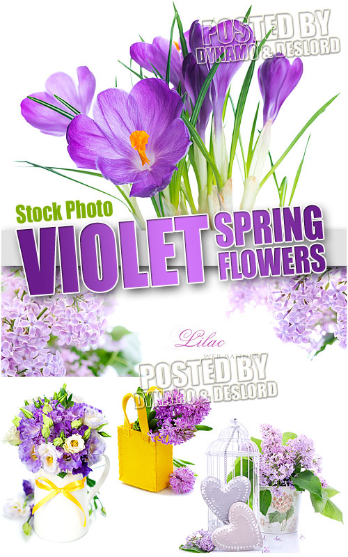 Violet spring flowers - UHQ Stock Photo