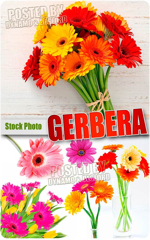 Gerbera - UHQ Stock Photo