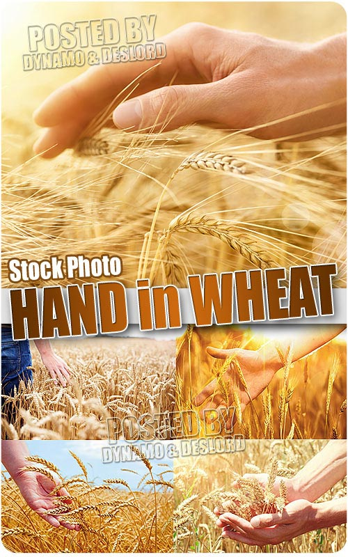 Hand in wheat - UHQ Stock Photo