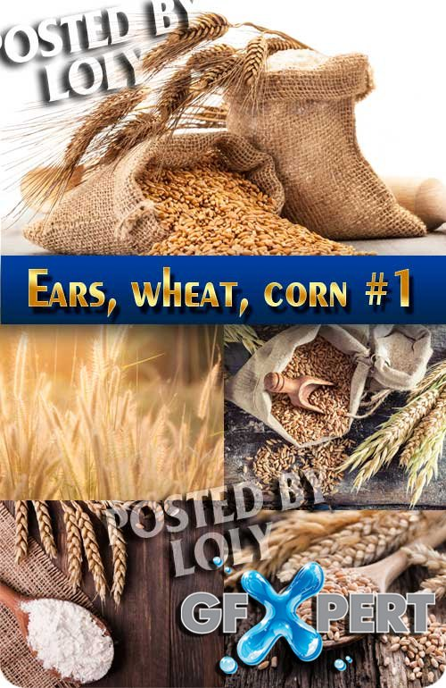 Ears, wheat and corn #1 - Stock Photo